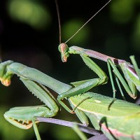 Male vs Female Praying Mantis – Differences and Similarities