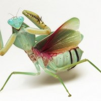 Praying Mantis Fun Facts – 10 Mantis Facts You Probably Didn't Know