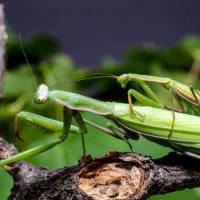 Praying Mantis Mating Ritual, Habits, and Facts