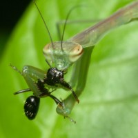 Do Praying Mantis Eat Ants?