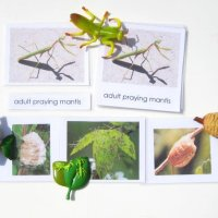 Praying Mantis Life Cycle – Facts, Diagram, Stages, Video