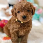 Goldendoodles Teacup Goldendoodle Puppies Precious Doodle Dogs