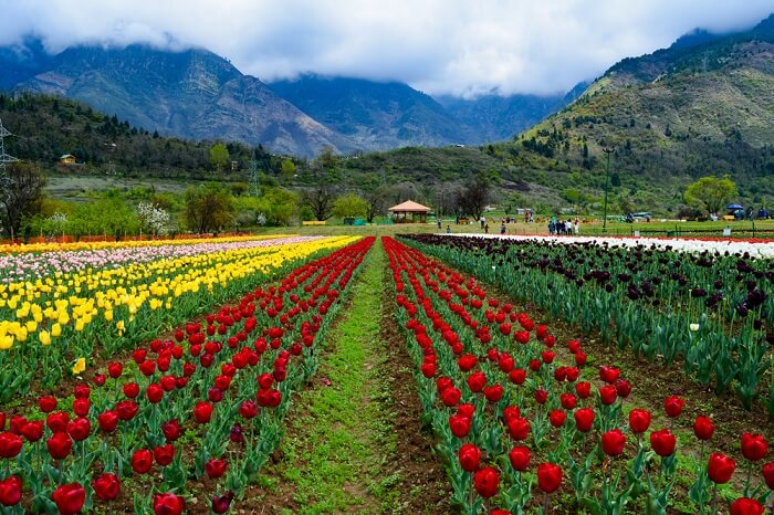 COVID-19 affect: Full-bloomed flowers in Asia's largest Tulip garden go unnoticed this year