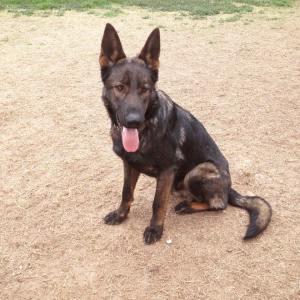 Protection Dog Training Austin, Tx