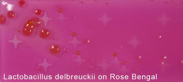 Lactobacillus delbrueckii on Rose Bengal