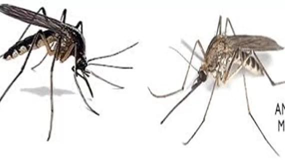 Nyamuk Anopheles yang Berbahaya untuk Manusia