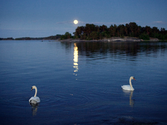 Swans-in-front-of-the-moon-rising