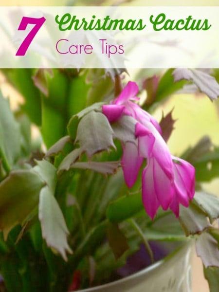 7 Christmas Cactus Care Tips