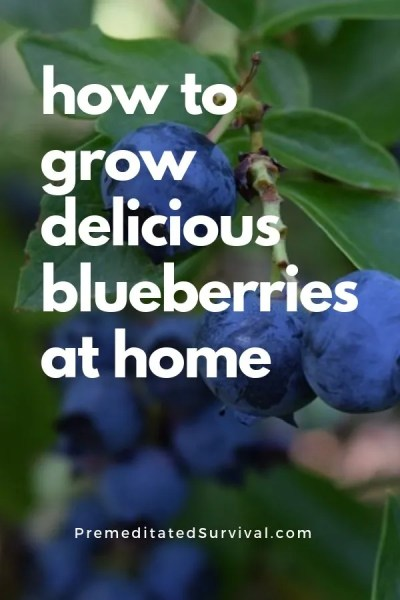 how to grow delicious blueberries at home