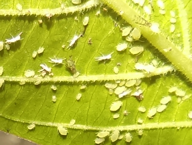 Naples Landscape Pest Problems: Aphids
