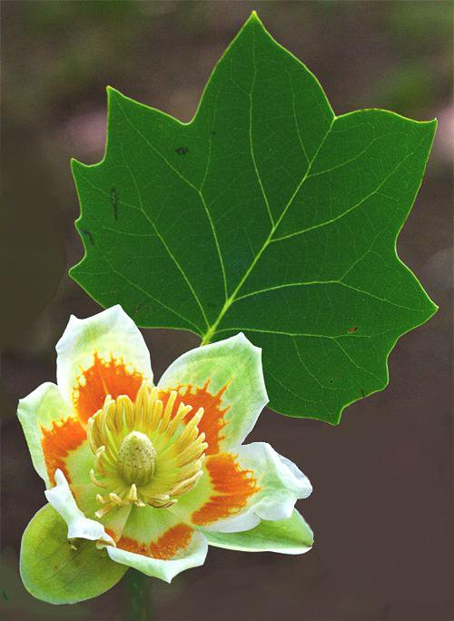 American Tulipwood Blossom and Leaf