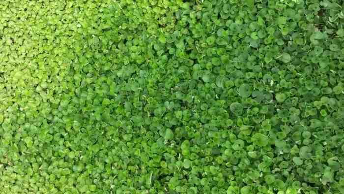 Barenbrug Dichondra zöld talajtakaró