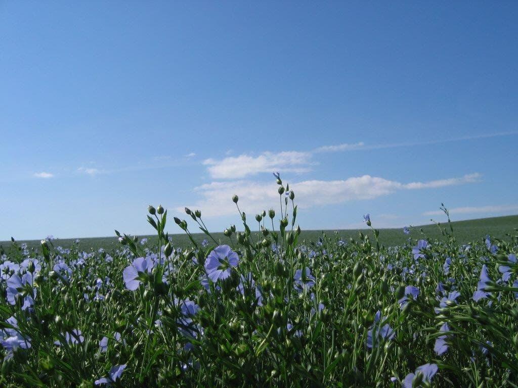 Flax Field 19-min