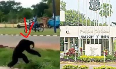 Gorilla escapes from UNILORIN's zoo (video)
