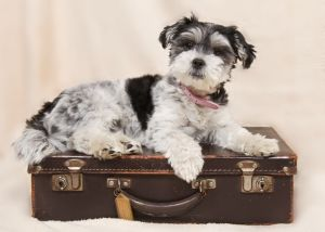 Dog laying on the suitcase