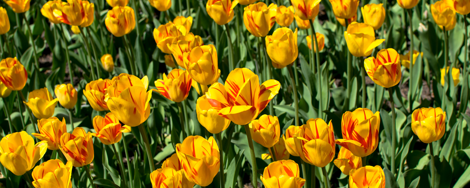 champs tulipes ottawa