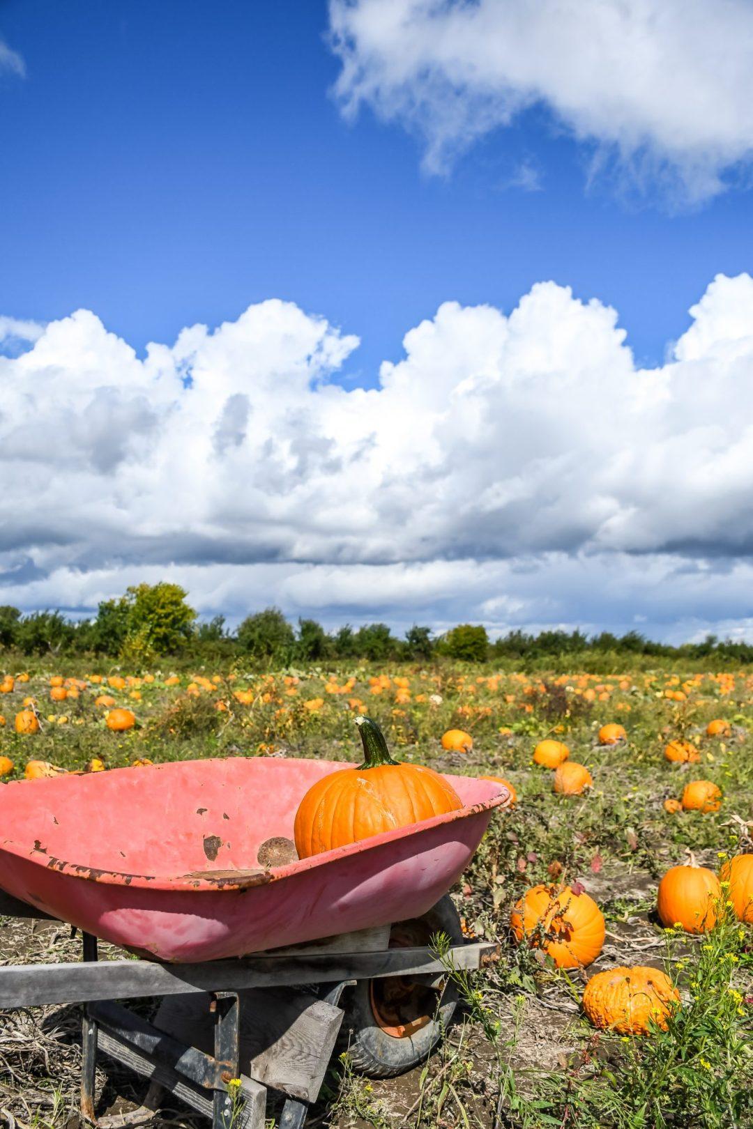 brouette champs citrouile