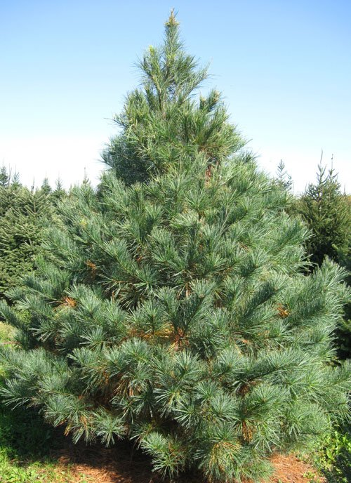 Image result for white pine tree