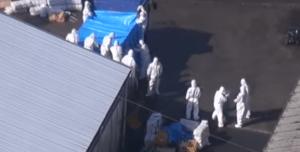 japan swine fever epidemic
