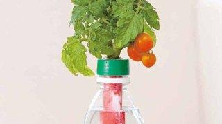 【ペットマト】ペットボトルでトマトを育てよう。【ペットボトル農園】