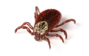 Surge in anaphylactic red meat allergies in the US is a bizarre side effect of TICK BITES