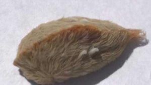Venomous puss caterpillars make their return to southeastern states