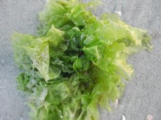 preppers will - sea lettuce
