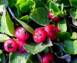 preppers will - wintergreen plant
