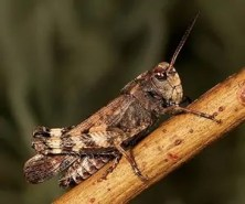 Prepper's Will - Edible Insects_short-horned grasshopper