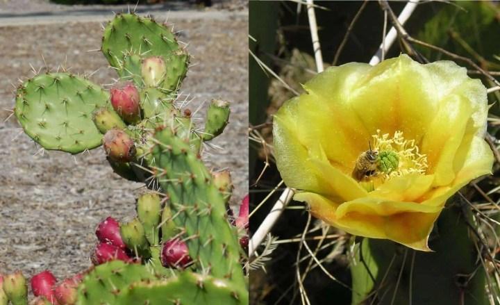 Prepper's Will - Arid Edibles - Cactus