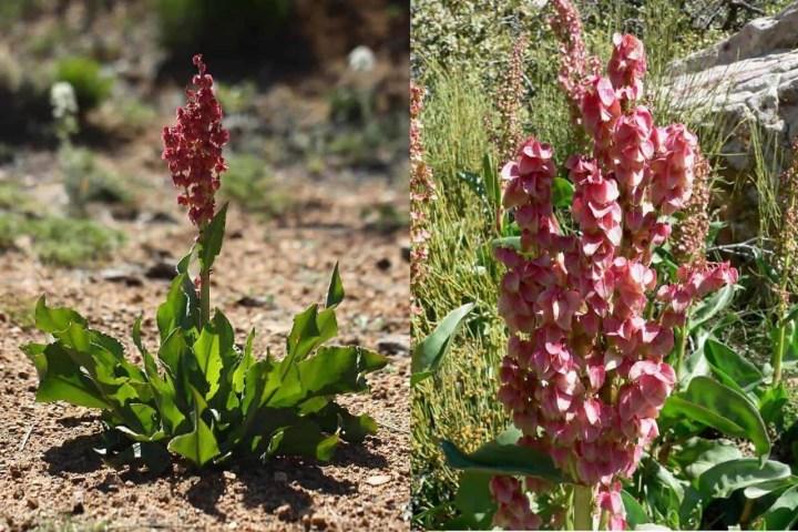 Prepper's Will - Arid Edibles - Wild Rhubarb