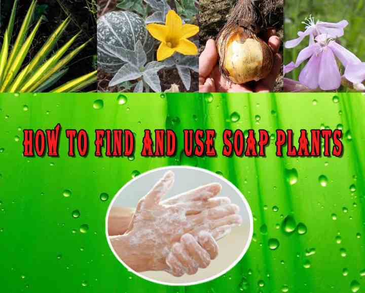 Prepper's Will - How To find and use soap plants
