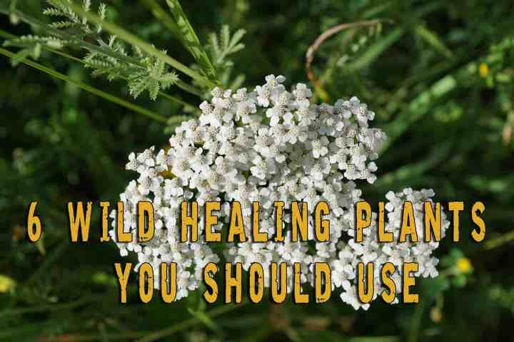 6 wild healing plants you should use