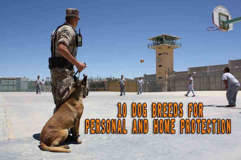 10 Dog Breeds for Personal and Home Protection