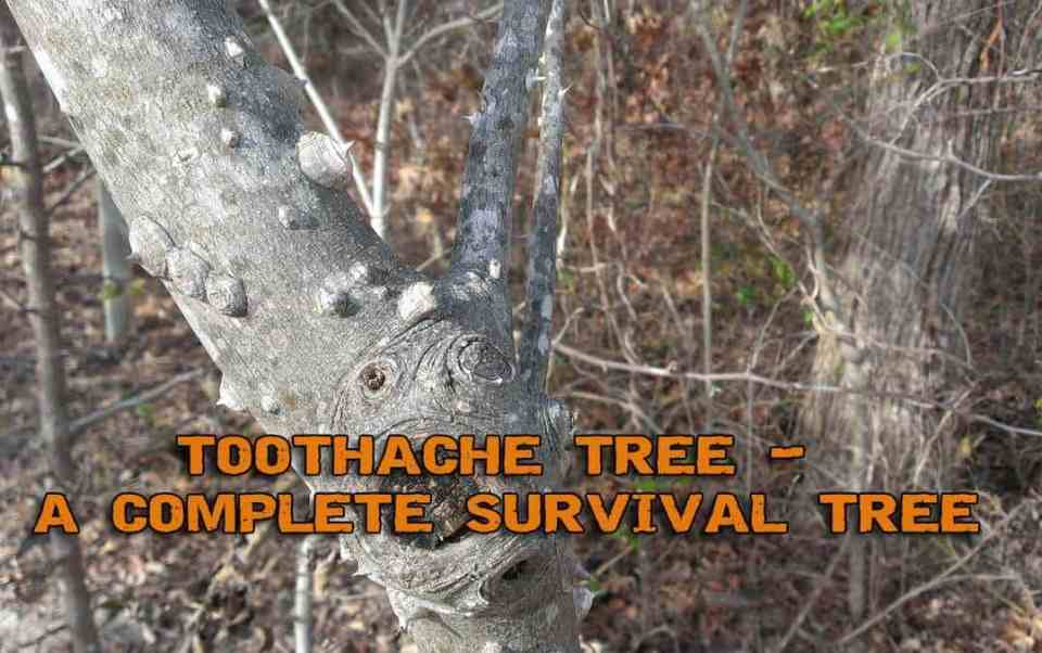 Toothache Tree - Your Roadside Source Of Pain Relief And Other Survival Aids