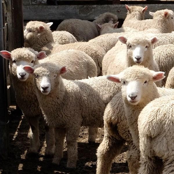 Karetu Downs Sheep