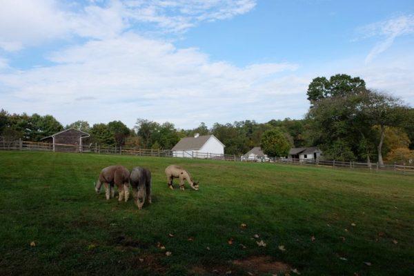 Faraway Farm Alpacas NYC