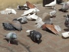 Pigeons dry themselves after taking a bath in a small pool of water mixed with ittar or perfume. The scent is used to differentiate one's pigeons from others'.