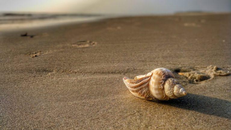 Schnecke am Strand von Amrum