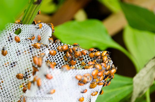 Ladybug Facts ~ Preschool Inspirations-2