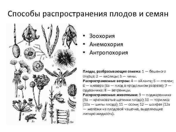 Строение цветкового растения Генеративные органы Цветок