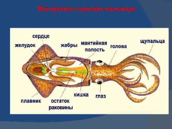 Класс головоногих осьминоги кальмары каракатицы 1 Наиболее ...