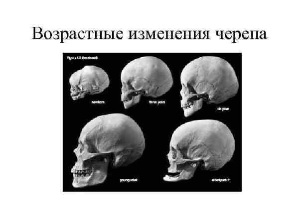 ЧАСТНАЯ ОСТЕОЛОГИЯ Части трубчатой кости Линия