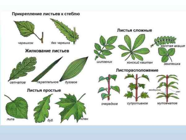 Цветковое растение Семейства Строение цветкового растения