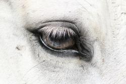 horseseye