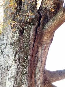 willow oak crack