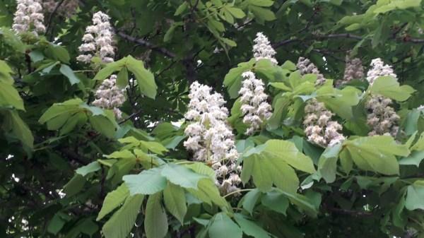 Редкое явление: в Уфе цветут каштаны   Официальный сайт ...