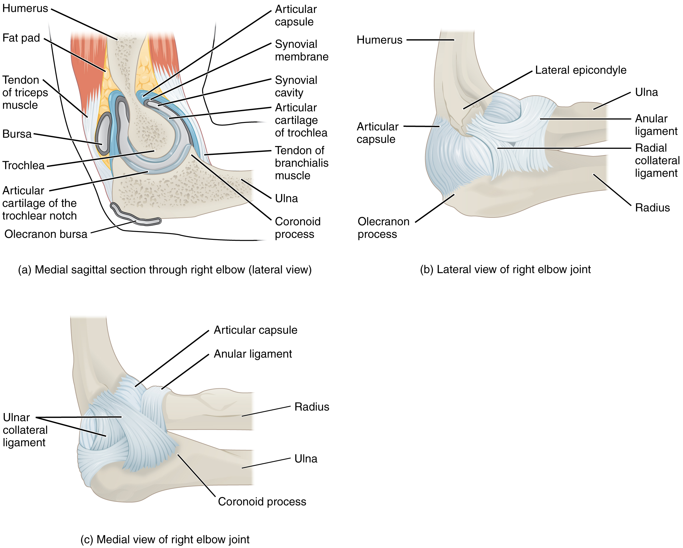 Anatomy Of Selected Synovial Joints Anatomy Amp Physiology