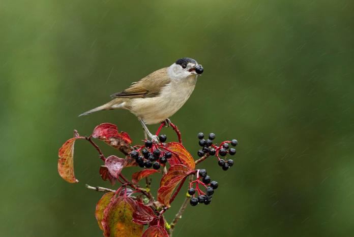 aves migradoras