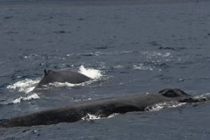 1220 14 1 - 日本、国際捕鯨委から脱退 八丈島の鯨さんどうなる 喰ってしまう?